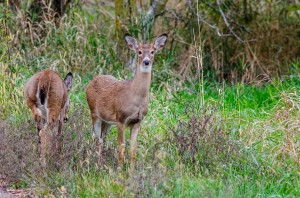 This pair of deer was spotted within the city limits of Oskaloosa.