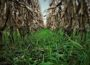 Cover Crop (Iowa Department of Agriculture)